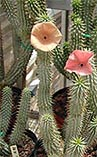 Hoodia Gordonii is famous for its effects as an appetite suppressant and mood enhancer. .